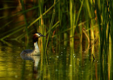 Great Crested Grebe (Podiceps cristatus). Female of Crested Grebe in rushes Royalty Free Stock Photography