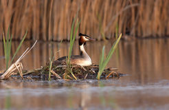 Great Crested Grebe (Podiceps Cristatus) Royalty Free Stock Photos