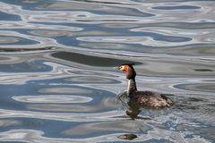 Great crested grebe or Podiceps cristatus afloat Stock Images
