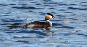 Great-crested Grebe (Podiceps cristatus) Stock Photos