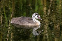Great Crested Grebe Podiceps cristatus chick stock photos