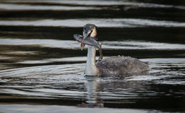 Great Crested Grebe (Podiceps cristatus) with Fish Stock Photo