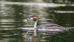 Great Crested Grebe (Podiceps cristatus). With a fish in its' bill stock image