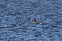 Great Crested Grebe (Podiceps cristatus). A Great Crested Grebe with a fish in it's beak swimming on the River Severn in Gloucestershire, England Stock Images