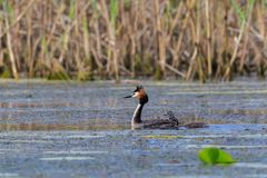 Great crested grebe podiceps cristatus Royalty Free Stock Photos