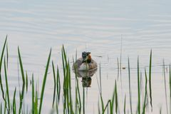 Great Crested Grebe Podiceps cristatus. Wimming into some reeds royalty free stock images