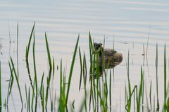 Great Crested Grebe Podiceps cristatus. On  a lake royalty free stock photo