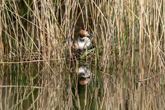 Great crested grebe Podiceps cristatus incubating eggs and sitting on nest hidden amongst marshland reeds royalty free stock images