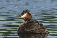 Great crested grebe Podiceps cristatus. Great crested grebe in its natural habitat in Denmark royalty free stock images