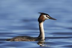 Great crested grebe Podiceps cristatus. Great crested grebe in its natural habitat in Denmark royalty free stock photo