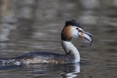 Great crested grebe Podiceps cristatus. Great crested grebe in its natural habitat with a fish in its beak stock image