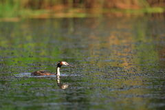 Great Crested Grebe Stock Image