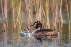 Great crested grebe, Podiceps cristatus. Juvenile with adult . The great crested grebe - Podiceps cristatus is a member of the grebe family of water birds. The stock photos