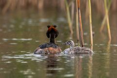 Great crested grebe, Podiceps cristatus. Juvenile with adult . The great crested grebe - Podiceps cristatus is a member of the grebe family of water birds. The stock photo