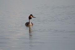 Great Crested Grebe (Podiceps cristatus) on the lake Royalty Free Stock Images