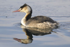 Great Crested Grebe, Podiceps cristatus Linnaeus Stock Photography