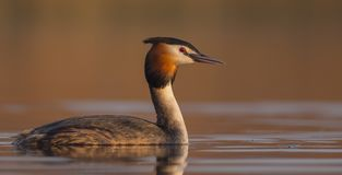 Great Crested Grebe - Podiceps cristatus. At the little lake in spring - Vilnius County, Lithuania stock photo