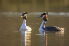 Great crested grebe Podiceps cristatus mating during Springtime Royalty Free Stock Photography