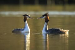Great crested grebe Podiceps cristatus mating during Springtime Stock Photo