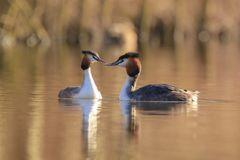 Great crested grebe Podiceps cristatus mating during Springtime. Two great crested grebe, Podiceps cristatus, mating in springtime season royalty free stock photos