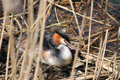 Great crested grebe or Podiceps cristatus at nest Stock Photos