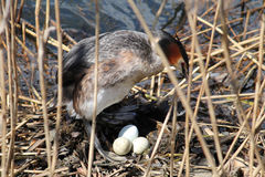 Great crested grebe or Podiceps cristatus at nest with eggs Royalty Free Stock Photography