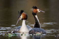Great Crested Grebe (Podiceps cristatus) stock photos