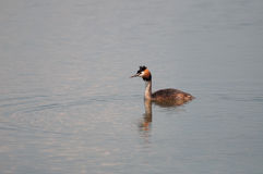 Great Crested Grebe (Podiceps cristatus) on a pond Royalty Free Stock Photos