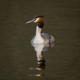 Great Crested Grebe (Podiceps cristatus) Stock Images