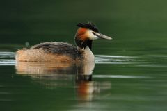Great Crested Grebe (Podiceps Cristatus). This Great Crested Grebe searching a fish for her babys Royalty Free Stock Images
