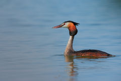 Great Crested Grebe (Podiceps cristatus). Royalty Free Stock Photography