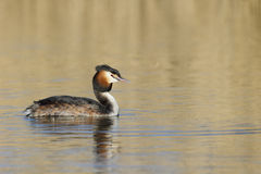 Great-crested grebe, Podiceps cristatus Stock Photography