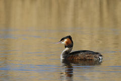 Great-crested grebe, Podiceps cristatus Stock Image