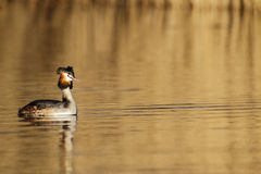 Great-crested grebe, Podiceps cristatus Royalty Free Stock Photo