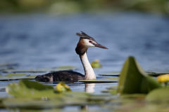 Great-crested grebe, Podiceps cristatus. Single bird on water, Romania, June 2016 royalty free stock images