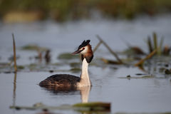 Great-crested grebe, Podiceps cristatus stock photos