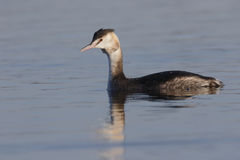Great-crested grebe, Podiceps cristatus Stock Images
