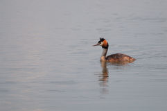 Great Crested Grebe (Podiceps cristatus) swimming on the lake Stock Photos