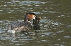 A beautiful Great crested Grebe Podiceps cristatus swimming on a stream with a fish in its beak which it has just caught and is. A Great crested Grebe Podiceps stock photography