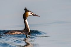 Great crested grebe on the water surface Royalty Free Stock Images