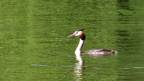The great crested grebe (Podiceps cristatus) stock video