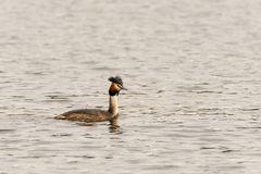 Great Crested Grebe Podiceps cristatus. In the Thames royalty free stock images