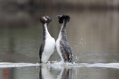 Great-crested grebe, Podiceps cristatus Royalty Free Stock Image