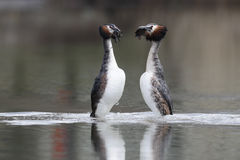 Great-crested grebe, Podiceps cristatus Royalty Free Stock Photos