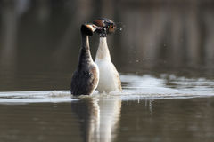 Great-crested grebe, Podiceps cristatus Royalty Free Stock Images