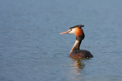 Great Crested Grebe (Podiceps cristatus). Royalty Free Stock Photo