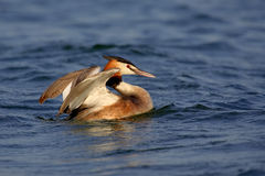 Great Crested Grebe (Podiceps cristatus). Stock Photography