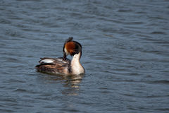 Great crested grebe or Podiceps cristatus. On the water stock images