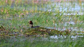 Great Crested Grebe, Podiceps cristatus, water bird brings algae to build a nest.  stock video footage
