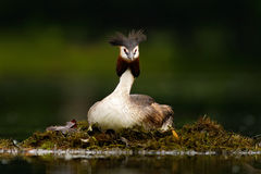 Great Crested Grebe, Podiceps cristatus, water bird sitting on the nest, nesting time, on the dark green lake, bird in the nature Stock Image